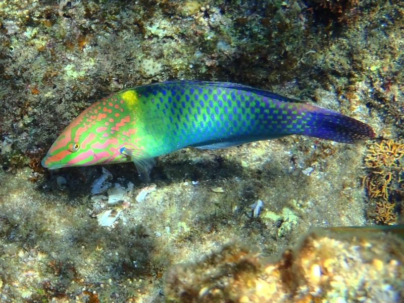 photos de plongée snorkeling en mer rouge( tortues, raies..) P7210810