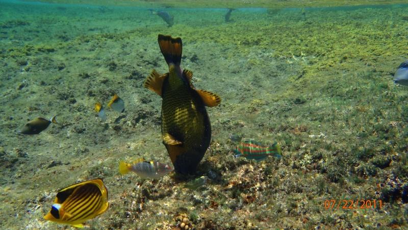 photos de plongée snorkeling en mer rouge( tortues, raies..) P7220710