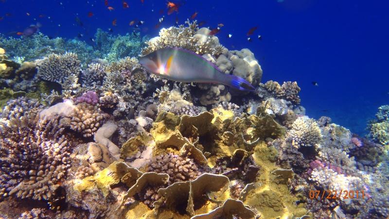 photos de plongée snorkeling en mer rouge( tortues, raies..) P7220711