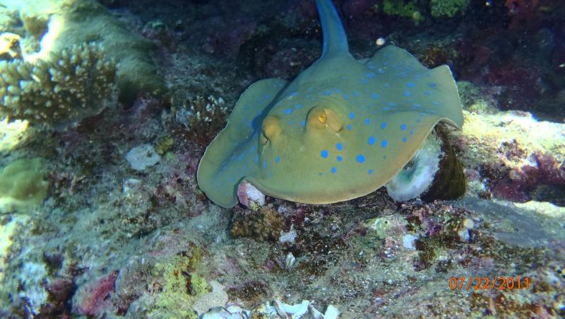 photos de plongée snorkeling en mer rouge( tortues, raies..) P7220811