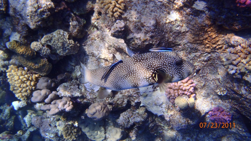 photos de plongée snorkeling en mer rouge( tortues, raies..) P7230810