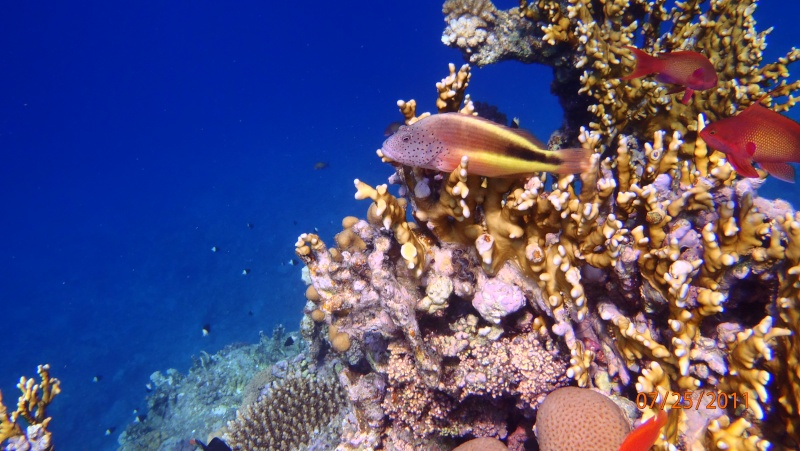 photos de plongée snorkeling en mer rouge( tortues, raies..) P7250811