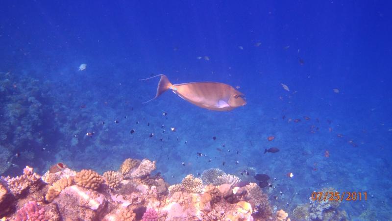 photos de plongée snorkeling en mer rouge( tortues, raies..) P7250813