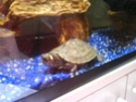 Règles de base pour la maintenance de tortues aquatiques - Page 2 Dsc00510