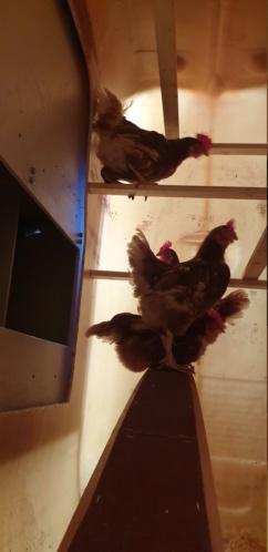 On accueil nos 4 premières poules demain.  20210136