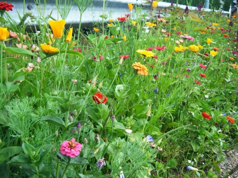 Favorisons les jachères florales ! Jachar17
