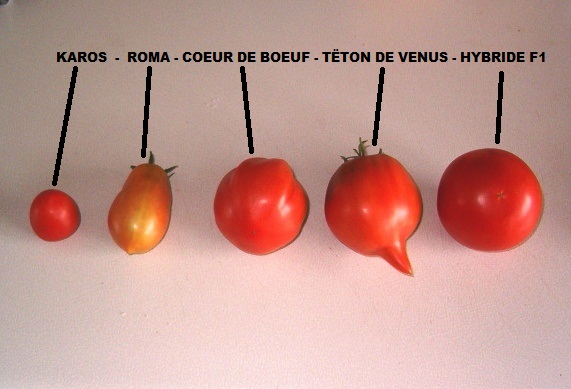 Tomates. - Page 3 Tomate11