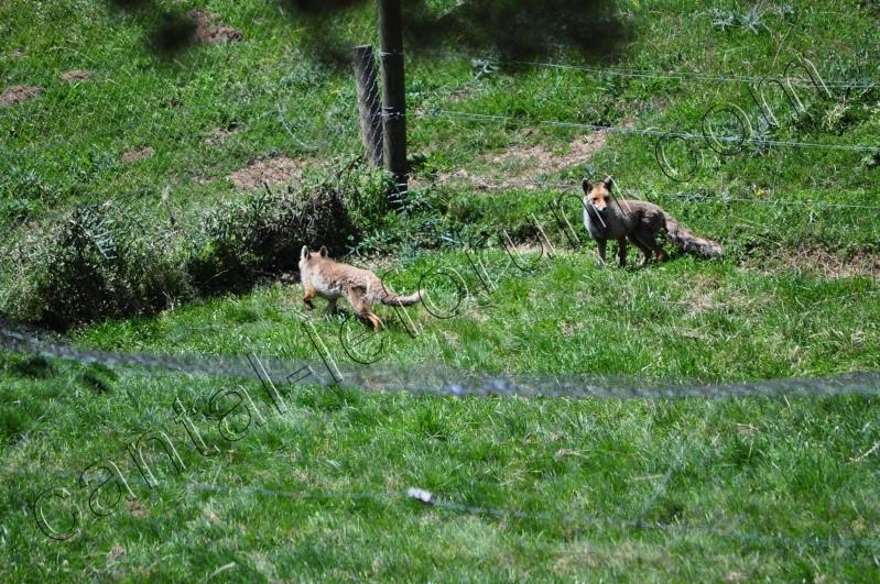 Safari à Ruynes en Margeride Dsc_4920