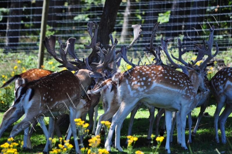 Safari à Ruynes en Margeride Dsc_5011
