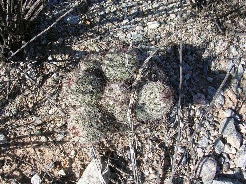 Mammillaria microcarpa? Dscn2610