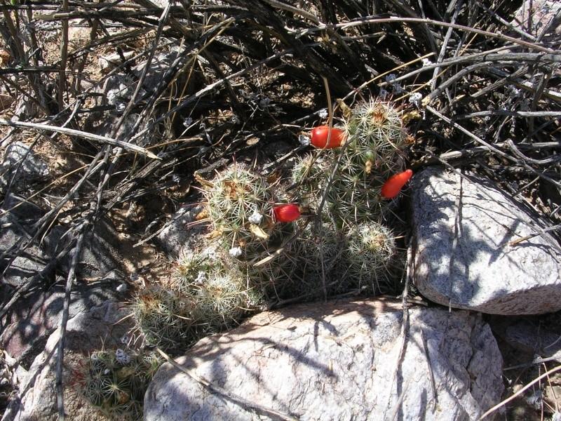 Mammillaria microcarpa? Dscn2611