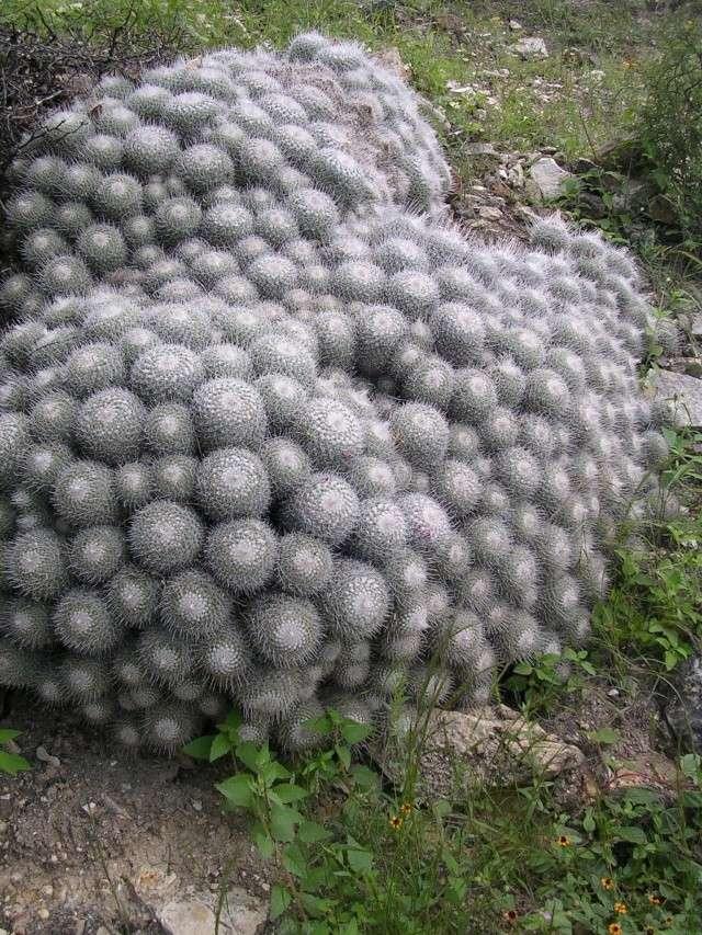 Mexico Trip Part 4 - Mammillaria geminispina Dscn3713