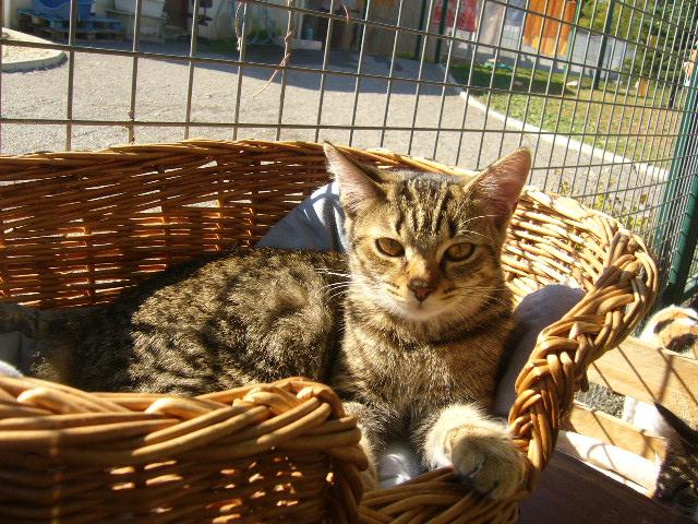 GRIOTTE Europeenne tigrée marron HTW220 P1100411