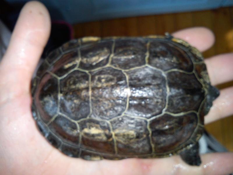 Geoemydidae ? Dsc00311