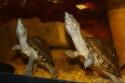 aquarium de mes Sternotherus carinatus Img_0210