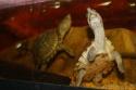 aquarium de mes Sternotherus carinatus Img_0211