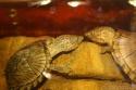 aquarium de mes Sternotherus carinatus Img_0212