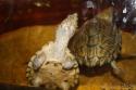 aquarium de mes Sternotherus carinatus Img_0213