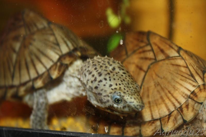 aquarium de mes Sternotherus carinatus Img_1913