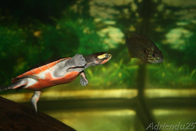 aquarium de mes Sternotherus carinatus Img_1914