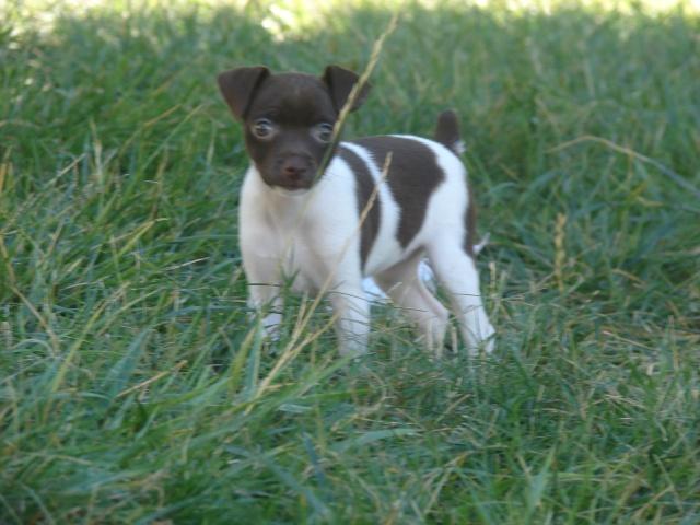 Toy Rat Terriers Dsc08112