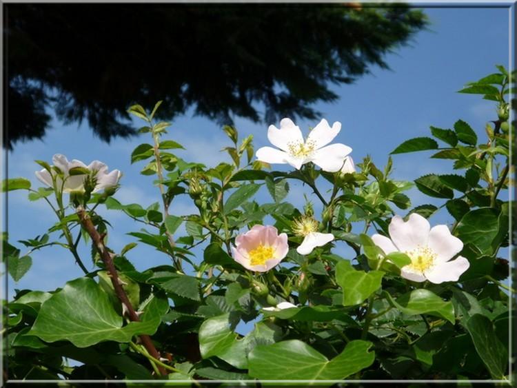 Que des fleurs  P921de10