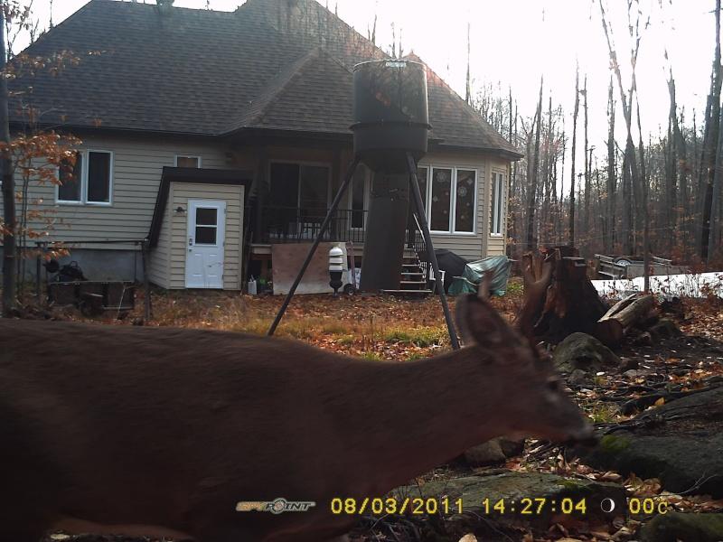 Quelques chevreuils en arrière de chez moi. Tikka_12