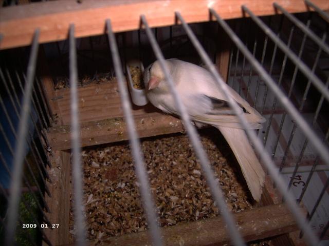 le canari malinois blanc 00710