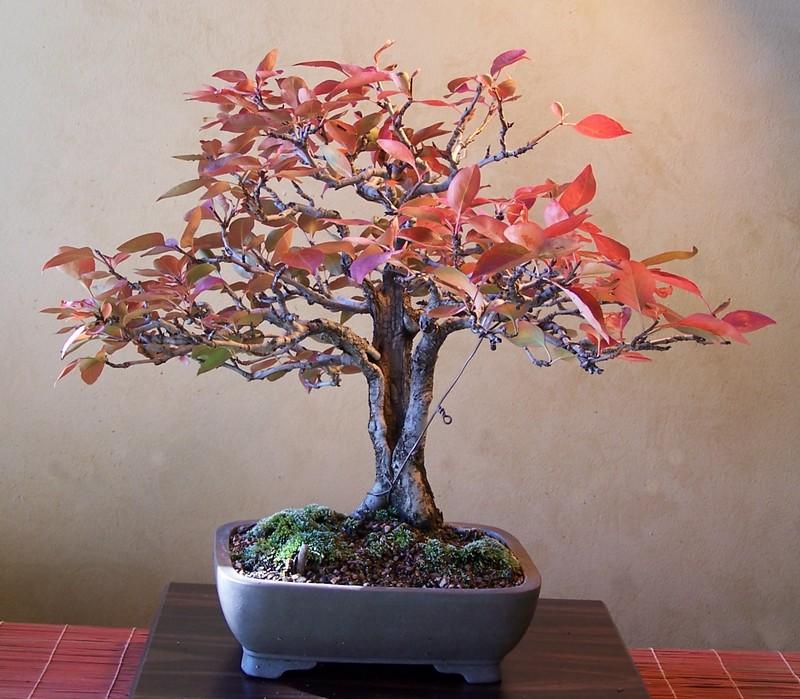 Pyrus pyrifolia - color 11-7-110