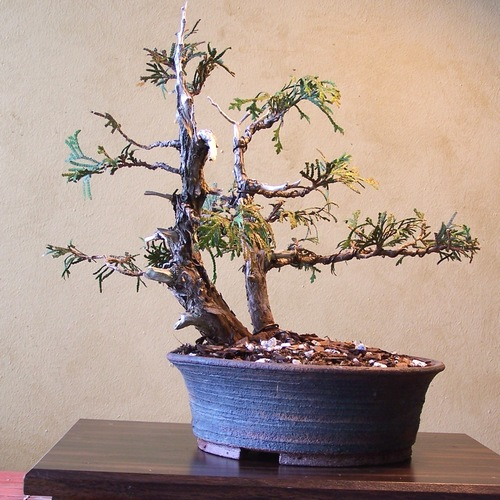 Out-of-its-comfort-zone Thuja 3-12_f10