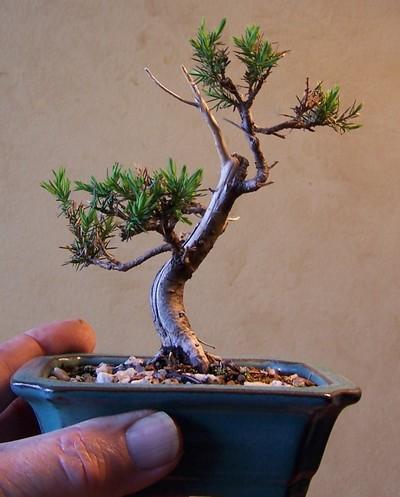 virginia pine and eastern red cedar 3-12_m10