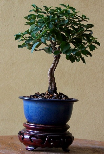 Chinese privet in a new pot 8-11_m10