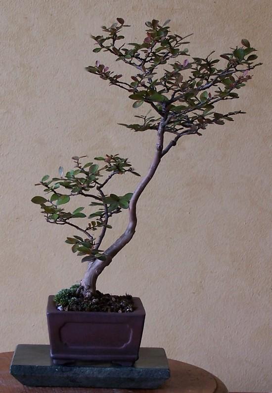 Lagerstromia indica 'Acoma' 8-11_s10