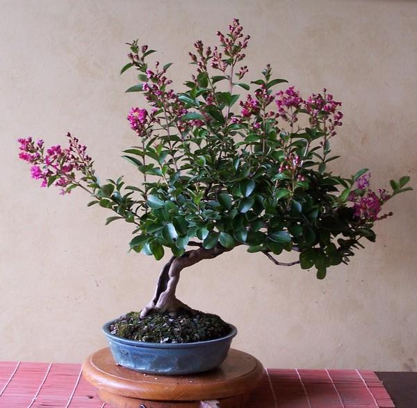 Lagerstromia indica 'Acoma' Bloom_10