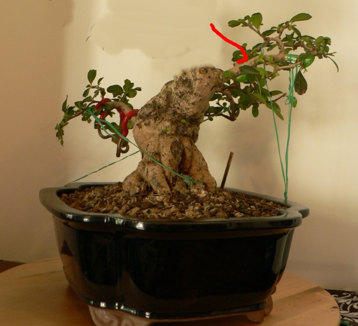 """My 1st """"bonsai"""" - Fukien Tea #1 tree progression (Poink88) Jun34"""