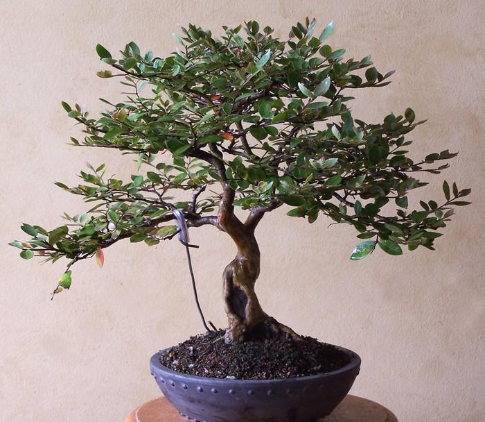 Lagerstromia indica 'Acoma' L_indi10