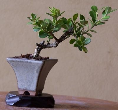 Chinese privet in a new pot Mini_810