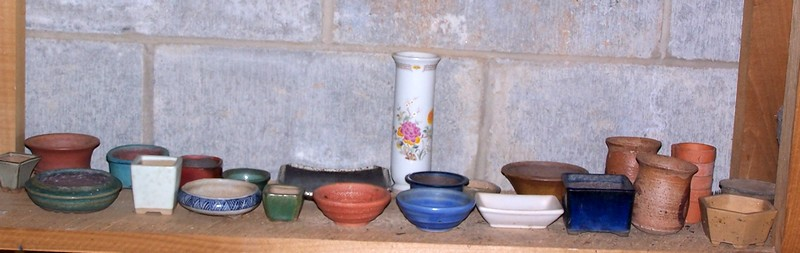 Chinese privet in a new pot Mini_p10