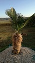 Planter Trachycarpus wagnerianus de 100 cm en Hivert - Page 2 Img_2014