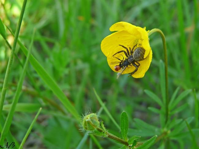 Araignées à identifier Insect12