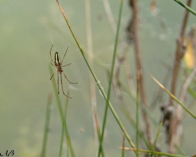 Araignées à identifier Insect13