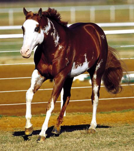 Quarter et Paint Horse 18gsge10
