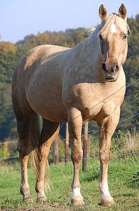 Quarter et Paint Horse 280px-10