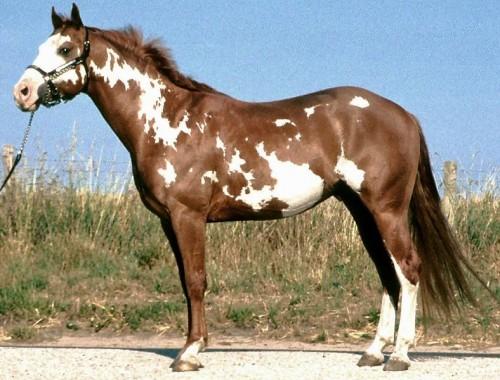 Quarter et Paint Horse 788px-10