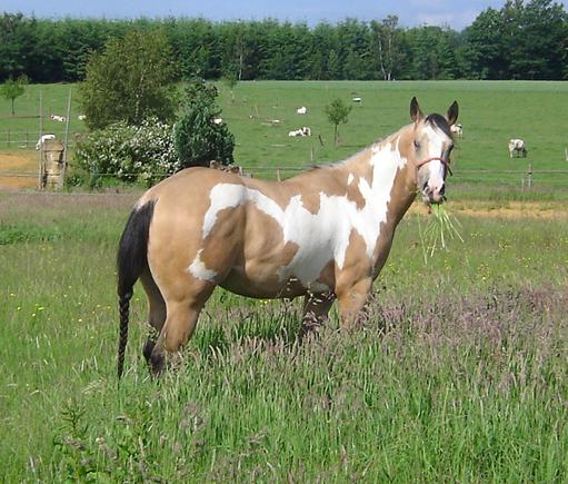 Quarter et Paint Horse Cal02h10