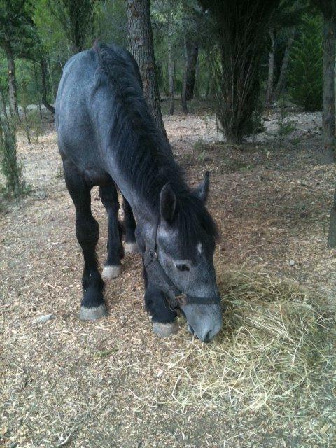 AUGUST - Percheron X Boulonnais né en 2010 - adopté en janvier 2011 par Marianne et Philippe August12