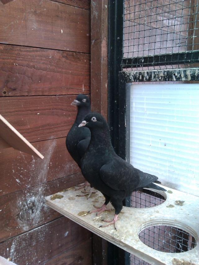 mes 1er jeunes pigeons Imag0011