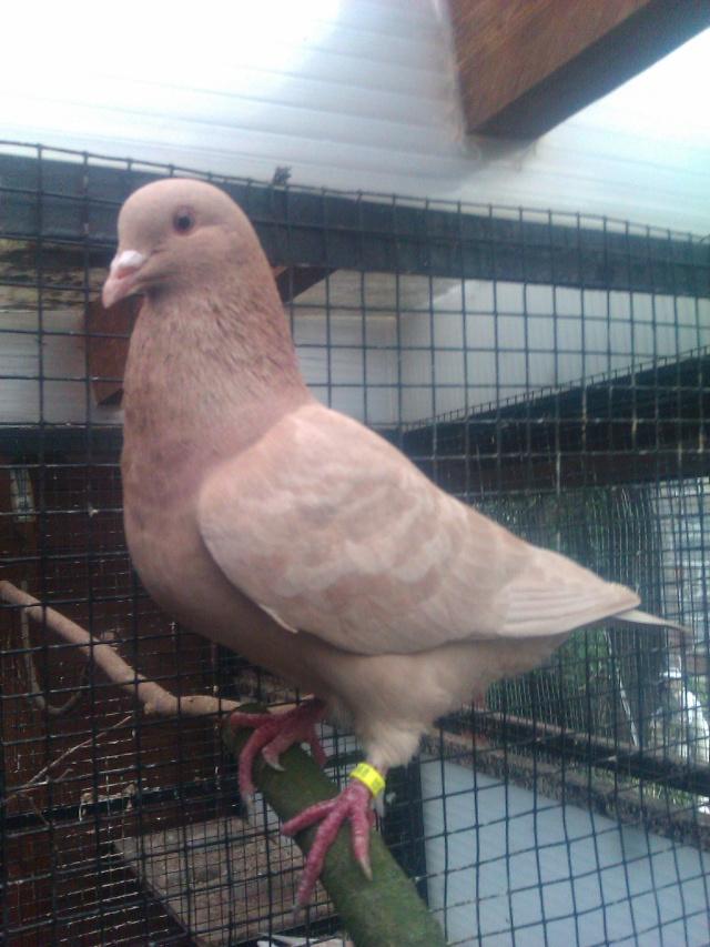 mes pigeons Imag0015