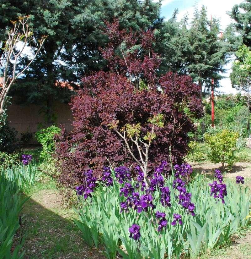 L' arbre à perruque- cotinus coggygria ou cotinus obovatus Dsc_0017