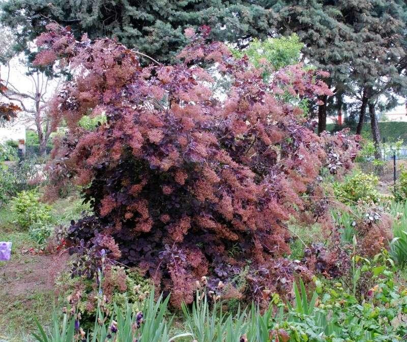 L' arbre à perruque- cotinus coggygria ou cotinus obovatus Dsc_0114